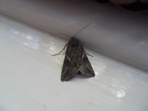 Please help identify this moth