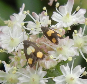 Moths on Hogweed