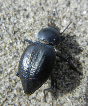 unknown Spanish beetle 1