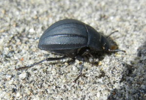 unknown Spanish beetle 2