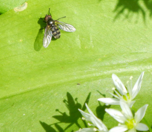 Ramsons Hoverfly
