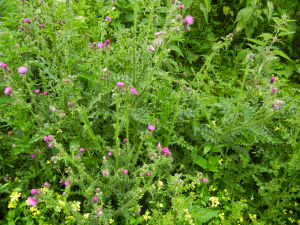 Welted Thistle ?