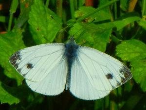 Green-veined White (male and female)