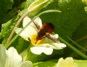 Dotted Bee Fly