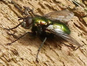Bristly Fly (from Bristol)