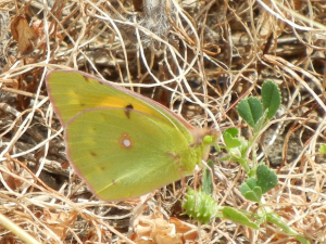 Clouded Yellow?