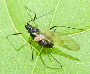 Aphid