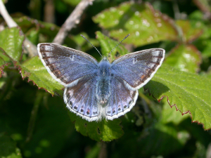 unusual common blue