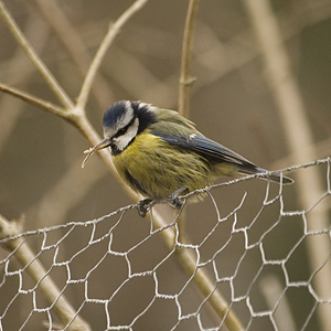 Blue Tit with deformed bill