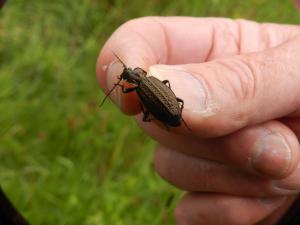 very large ground beetle