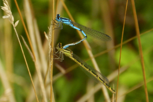 common-blue-damselfly