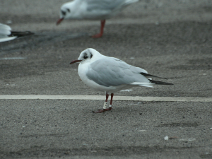 Black-headed Gull - White JYY