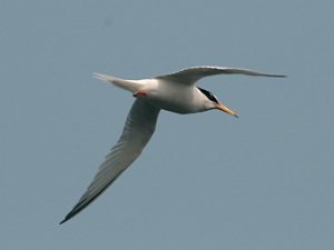 little_tern
