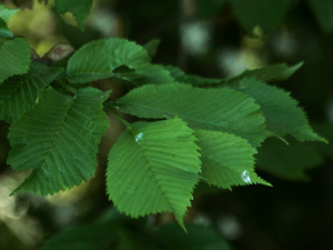 elm leaves and seeds