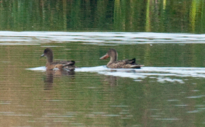 2013-08-25 brown duck