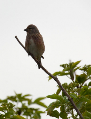 brown streaked passerine