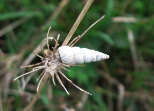 White conical snail
