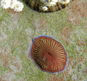 StripedActinia137