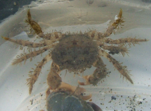 Hairy crab57
