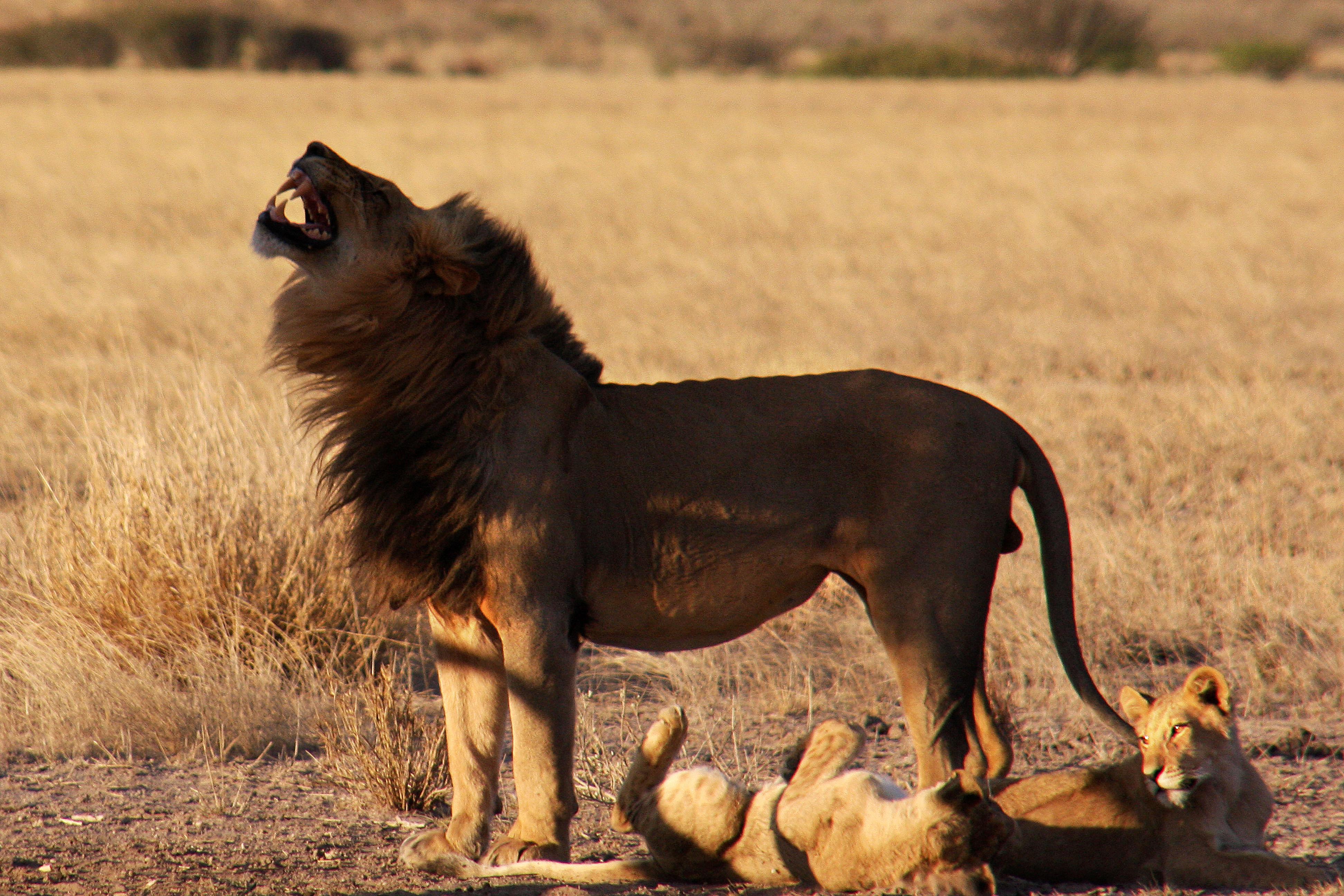 Option 5: Lion Bhekisisa