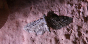 Waterval Moths: small