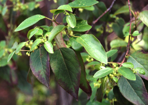 Common shrub: Maqui