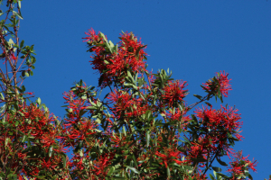 Proteaceae of South America