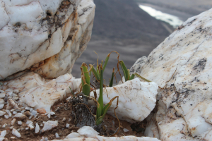 Bulbs on quartz outcrop