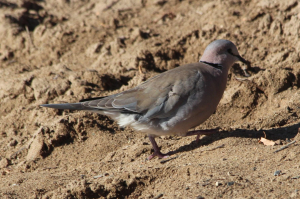 Cape turtledove
