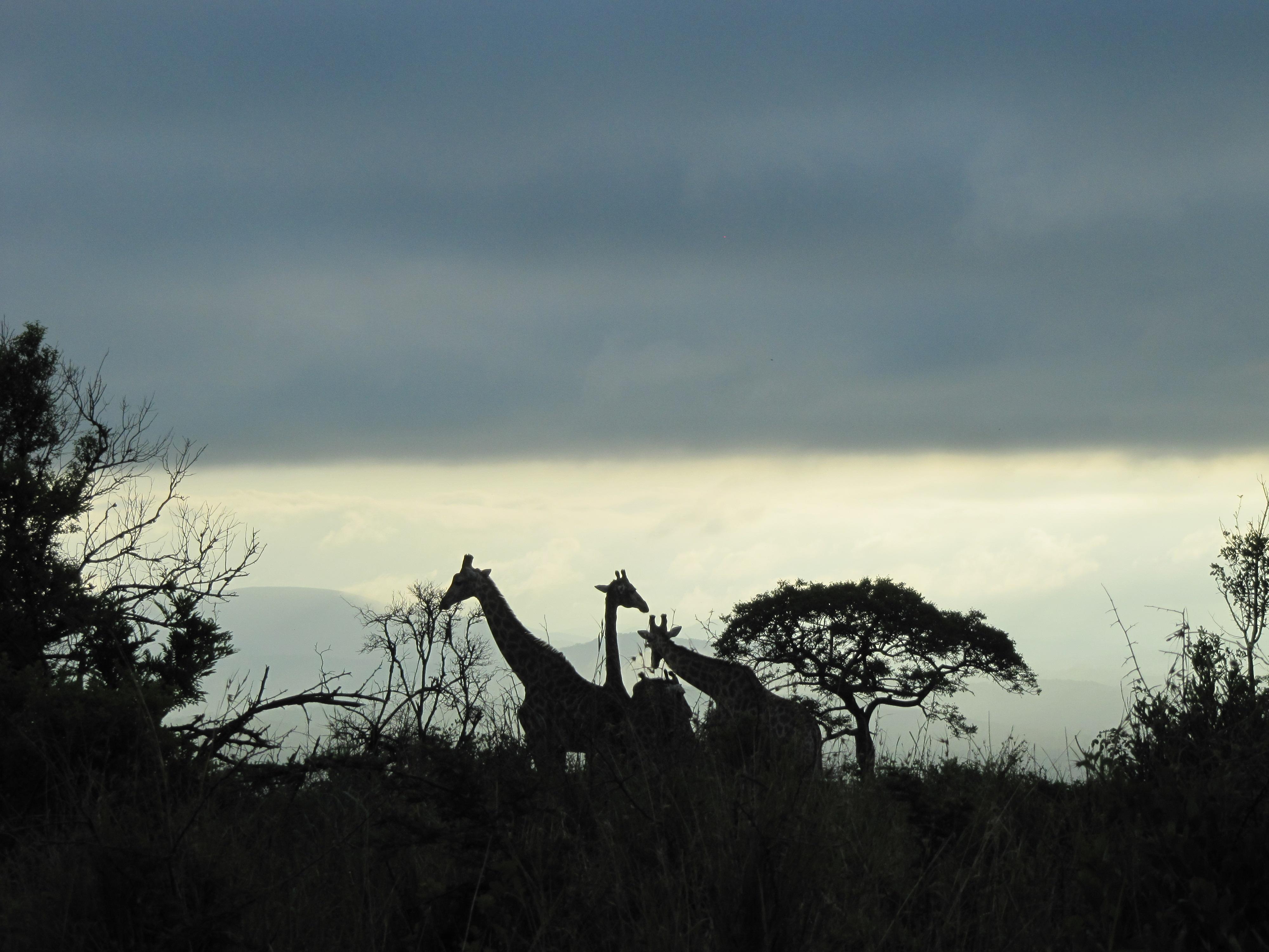 Option 33: Giraffe Gigi