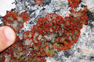 Redrim foliose lichen on sandstone