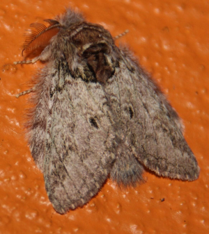 Moth: brown dome