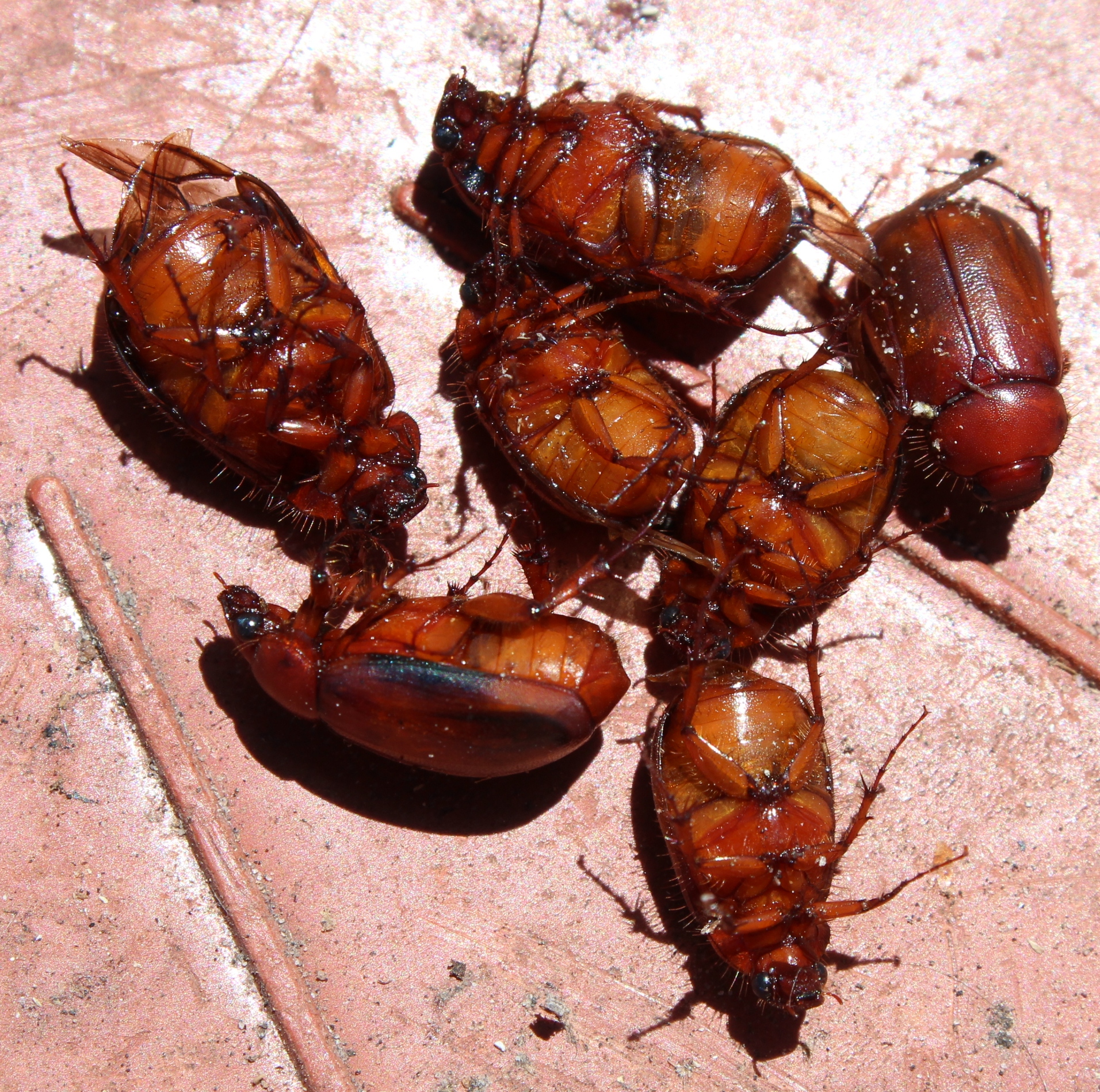 Christmas Beetles.Christmas Beetles Observation Southern Africa Ispot