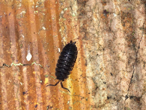 Common Rough Woodlouse