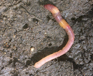 Can someone identify this earthworm please?
