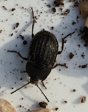 Can someone identify this  beetle please?