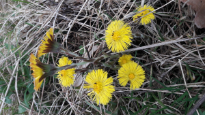 Colt's-Foot at Shireoaks