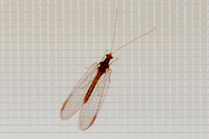 lacewing-1843