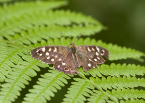 Butterfly on Bracken in New Forest inclosure