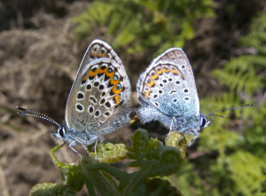 Mating silver studded blues