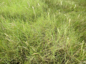 Saltmarsh grass, not cordgrass