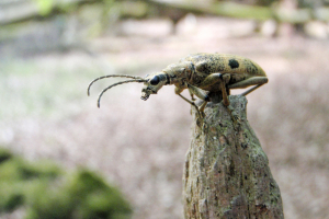 Longhorn beetle in the New Forest?