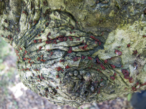 Holly fungus