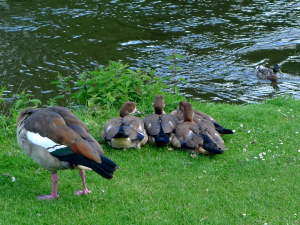 Family of Egyptian Geese