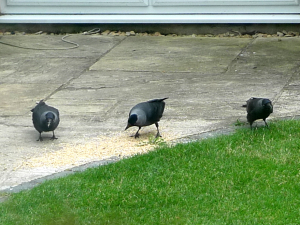 Family of Jackdaws