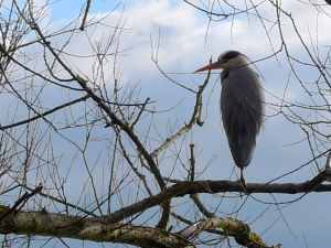 Getting closer to a Grey Heron!