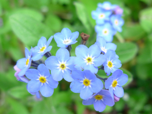 Wood Forget-me-not?