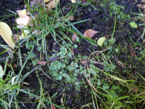 Unidentified liverwort
