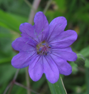 Cranesbill (4 photos)