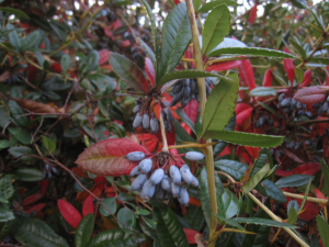 Barberry-like shrub (4 photos)